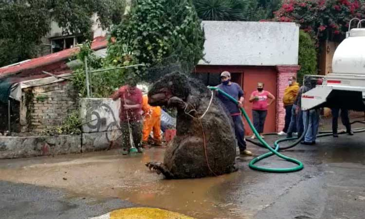 la rata gigante que se encontró en ciudad de México